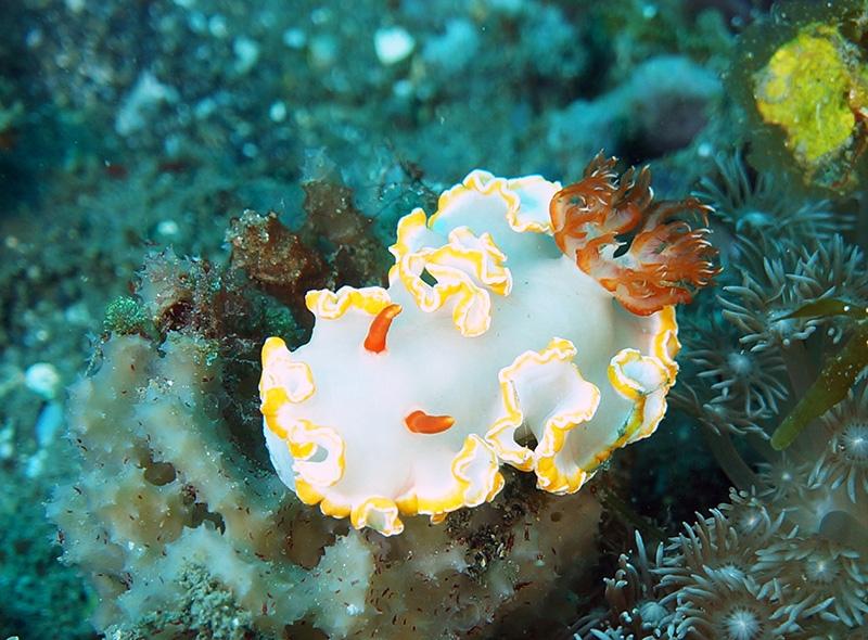 Siladen nudibranquio