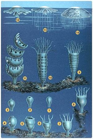Ciclo reproducción escifozoos