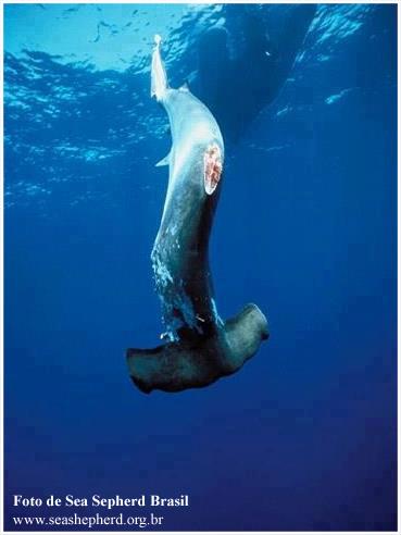 hammer_shark_finned
