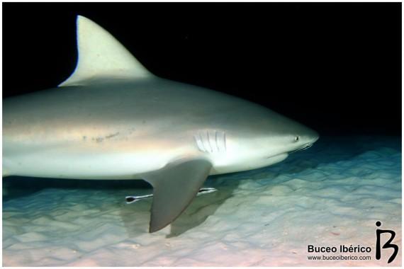 carcharhinus-leucas-1