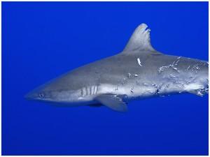 marcas-apareamiento-tiburon