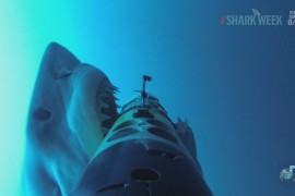 tiburon-blanco-ataca-camara