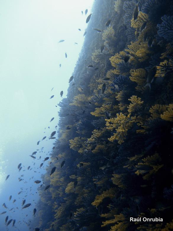 Gorgonias en Medas