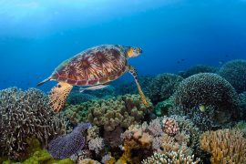178012-turtle-at-tubbataha-reef