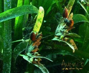 flores de posidonia oceanica
