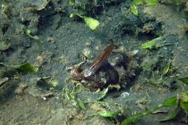 Sepia en el mar menor