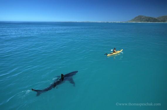 White Shark and Kayak