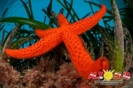 alisub-estrella-de-mar